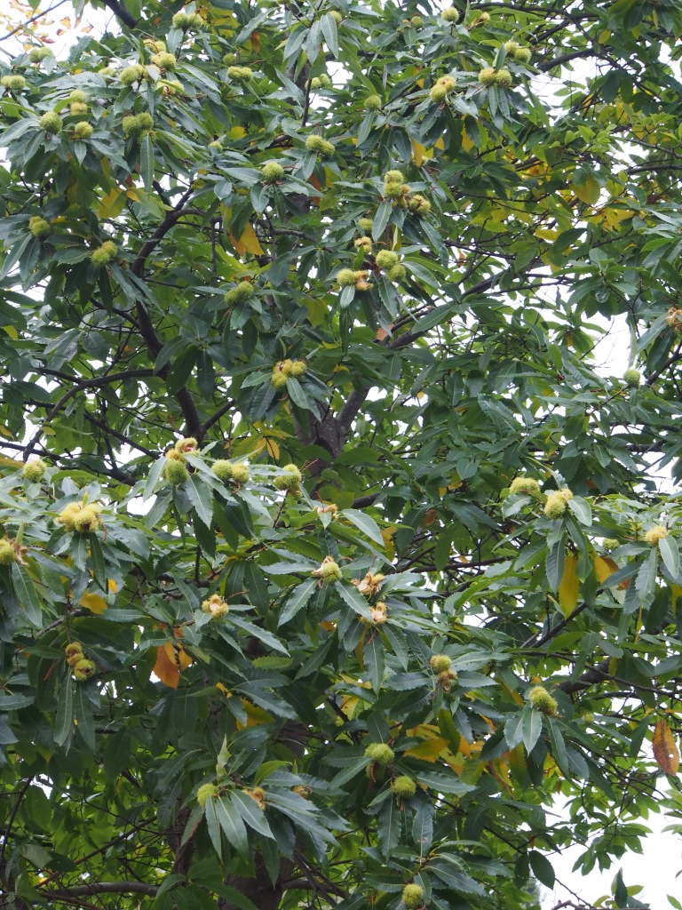 Pollinerade och opollinerade ätliga kastanjer