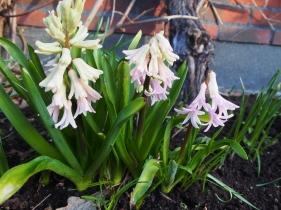 Släng inte dina utblommande hyacinter, tryck ner dem i rabatterna.