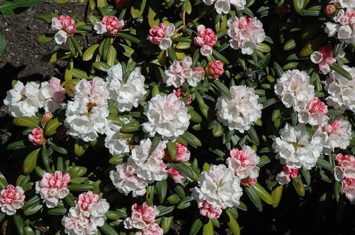 Rhododendron yak. 'Koichiro Wada'