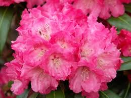 Rhododendron (Y) 'Morgenrot'