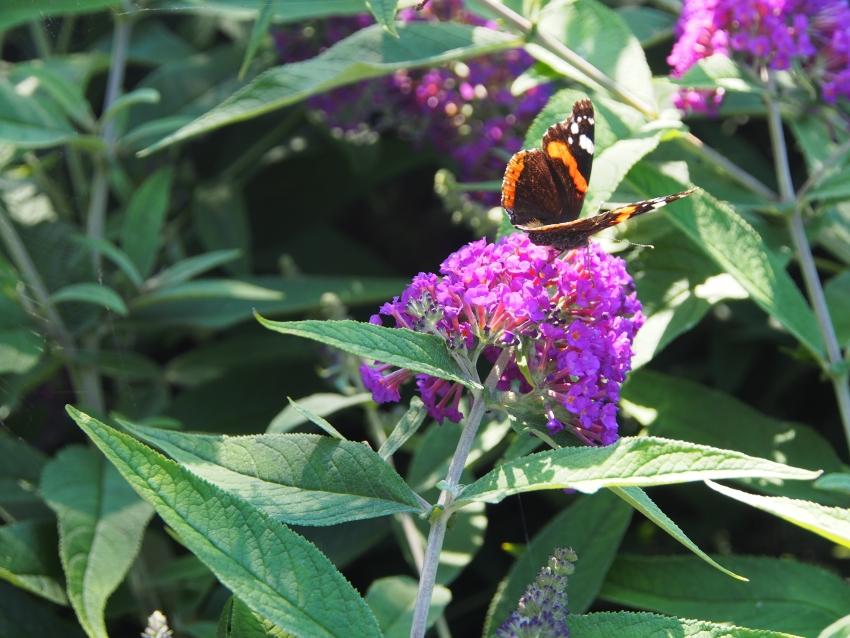 Sommarbild på en Amiral på en Bud. Flower Power.